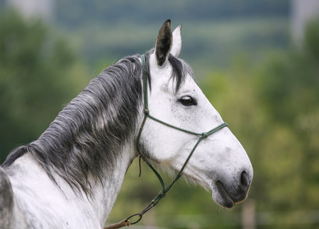 Head of a gray colored lipizzaner foal.  Side view portrait of young lipizzaner foal