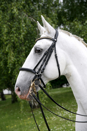 Vertical head shot of a young lipizzaner horse against green natural background