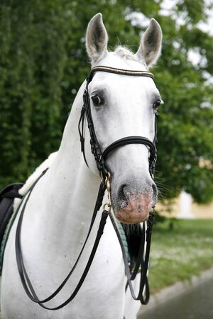 Front view head shot of a young lipizzaner horse against green natural background Banque d'images