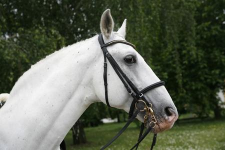 Side view portrait  of a purebred gray lipizzaner stallion under saddle