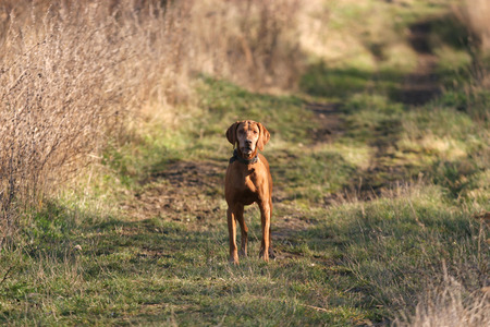 Cute hungarian breed vizsla dog looking toward the camera in summer forest Stock Photo