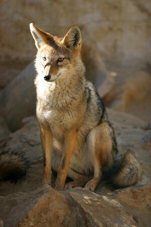 Desert fox sitting on the rocks natural environment Stock Photo