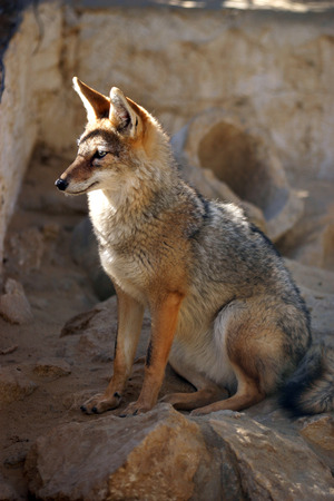 Red colored desert fox with big ears