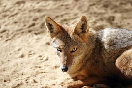 Desert fox lying on the sand natural environment in the sahara