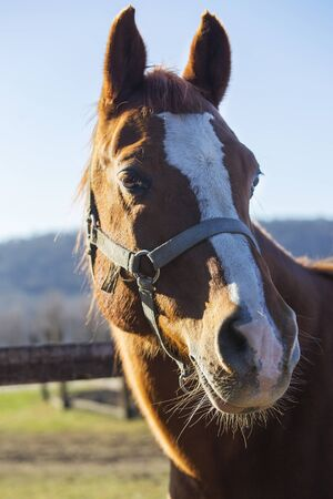 Headshot of a reddish colored purebred stallion frontwise. Check out my another equine photos please