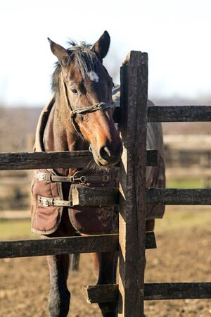 Purebred  warmblood mare looking over fence on a cold winter day. Sunny winter day on a horse farm horses wearing blankets. Check out my another equine photos please