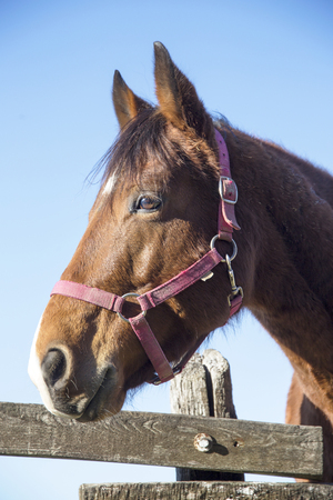Head of a thoroughbred saddle horse when looking over wooden corral fence