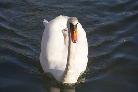water fowl: Young mute swan cygnus olor floating on clear water lake