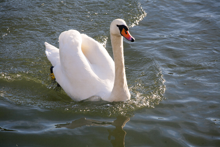 Beautiful swan swimming on crytal clear water