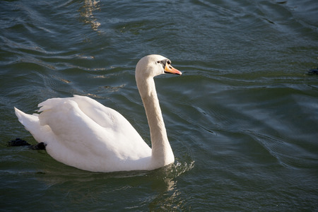 Cygnus olor mute swan floating on clear water Stock Photo