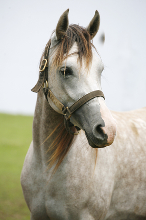 Head shot of a young shagya arabian stallion against green natural background Stock Photo