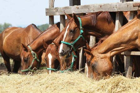 Hungry young saddle horses eating hay on the farm