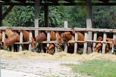 Beautiful panoramic shot of horses when eating hay on rural ranch summertime