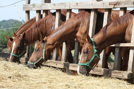 Side view view of purebred young horses when eating hay