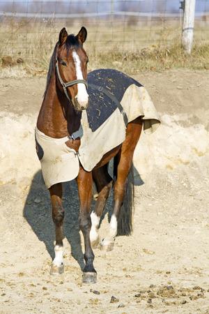 毛布の動物農場で安定したドアでポーズをとって純血種の馬 写真素材