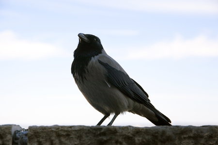 Closeup photo of a hooded crow at Budapest Castle Stock Photo