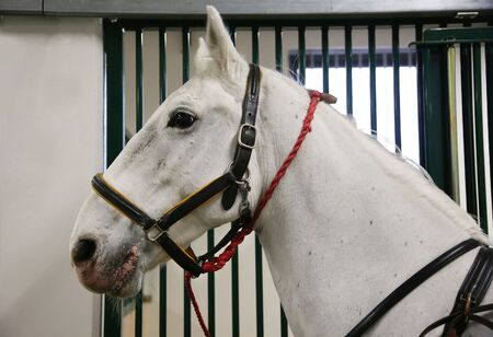 lipizzan horse: Gray colored lipizzan saddle horse waiting for riders. Head shot of a young beautiful lipizzan in the stable