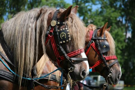 Farm horses fitted with beautiful handmade harness waiting to go to work against green natural background Redakční