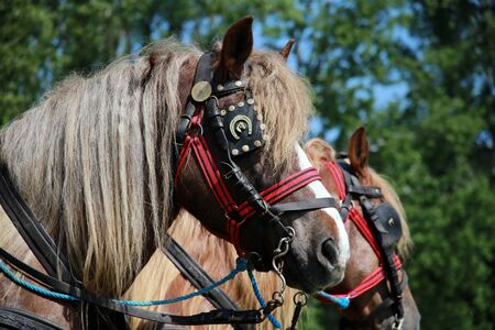 Farm horses fitted with beautiful handmade harness waiting to go to work against green natural background Editorial