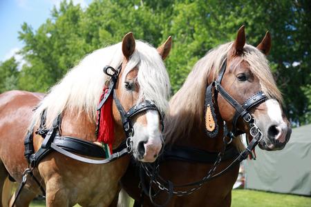 chevaux agricoles équipé de belle main harnais attente pour aller au travail