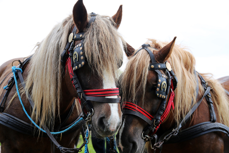 Close up of draft heavy horses in beautiful harness