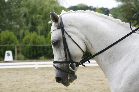 Purebred lipizzaner dressage horse with beautiful trappings under saddle during training Banque d'images