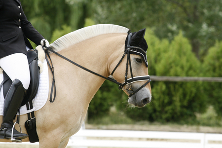 Young norwegian fjord breed mare on dressage event with unknown rider
