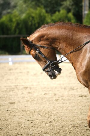 Purebred dressage horse with beautiful trappings under saddle during training