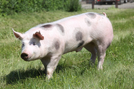 Spotted pietrain pig with black spots on pasture Stock Photo