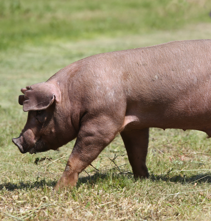 デュロック種豚の動物農場の牧草地の上を歩いて
