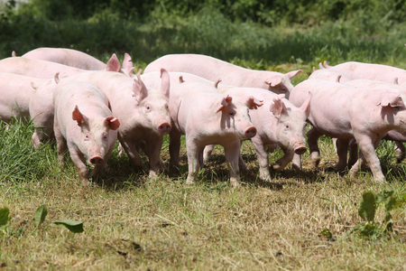 Herd of piglets on animal farm summetime Stock Photo