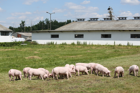 Little pigs piglets graze free on the farm summertime. Group of small pigs eating fresh green grass on the meadow Banco de Imagens