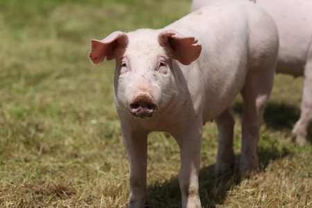 Closeup of a cute young pig on animal farm outdoor