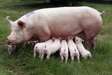 Little pigs breast-feeding closeup at animal farm rural scene summertime Stok Fotoğraf - 83881142