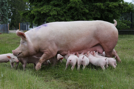Little pigs eating milk from mother on meadow