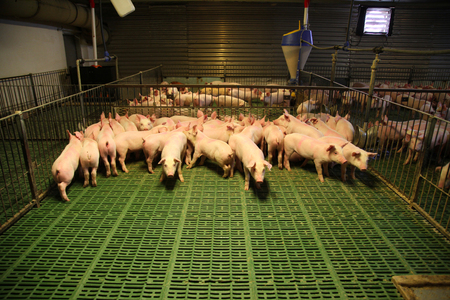 Indoor photo of a pig farm with many new born piglets