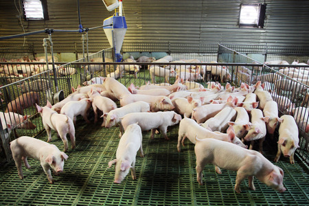 View from above of a breeding pig farm inside. Indoor photo of a pig farm with many new born piglets