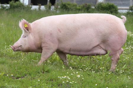 側の牧草地ピンク色の若い雌豚の写真を見る
