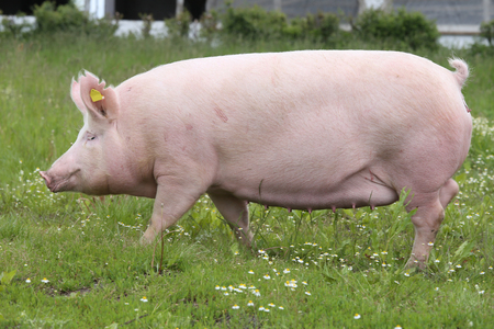 Side view photo of a pink colored young sow on the meadow
