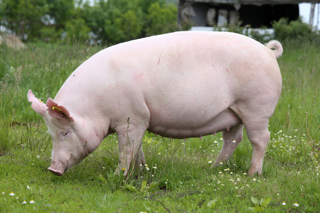 Sow posing for camera on green grass meadow rural animal farm Banque d'images