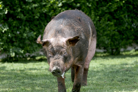 Livestock pig breeding in farm yard rural scene. Mighty duroc breed pig eating on meadow