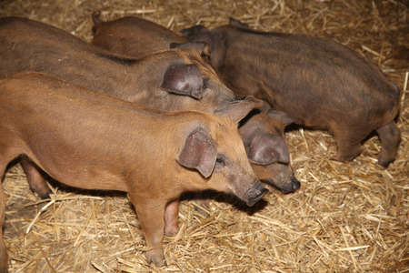 Little piglets inside at animal barn rural scene Stock Photo