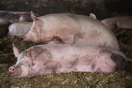 Close up photo of mighty sow pig when laying in the barn