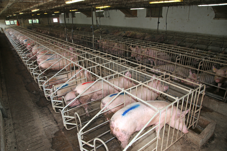 Sows living in stable at an industrial animal farm