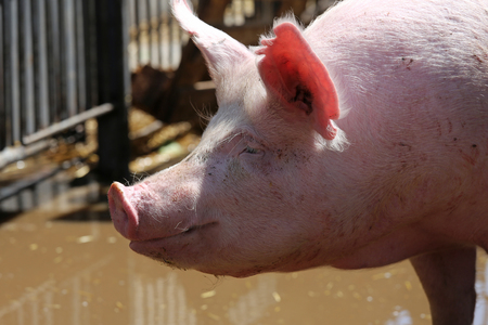 Pigs living on organic farm. Pig on the farm. Pigs household. Portrait of a healthy pig sow