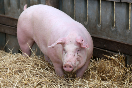 Beautiful young sow watched me in the corral Standard-Bild - 97947871
