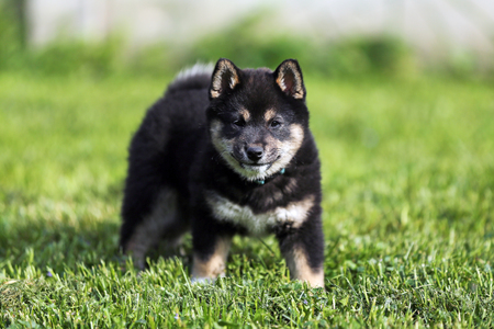 Close up of a seven weeks old japanese shiba inu puppy
