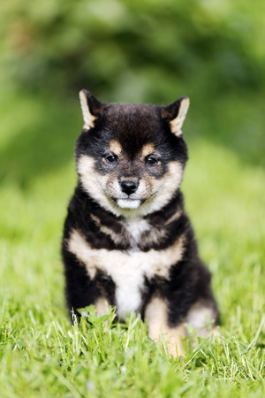 Beautiful japanese shiba inu puppy dog sunbathing the garden against green natural background