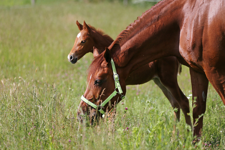 Little filly and mother grazing on summer pasture