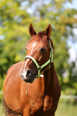Young thoroughbred mary graze on summer corral rural scenic